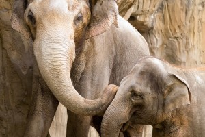 wild elephants wallpaper