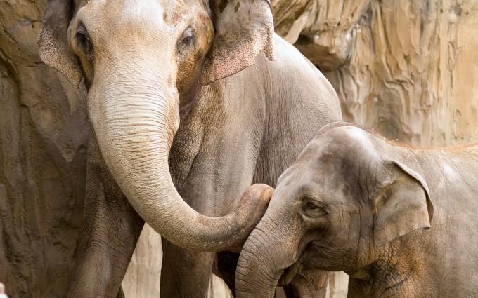 wild elephants wallpaper