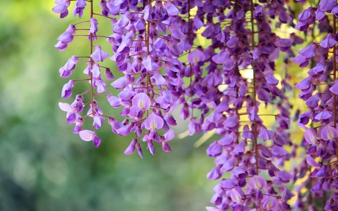 wisteria hd