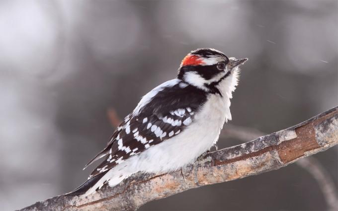 woodpecker nature wallpaper