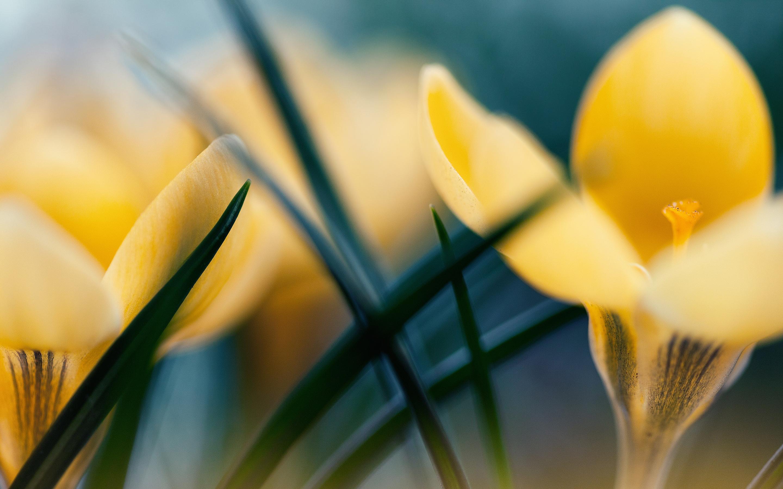 yellow crocus a1