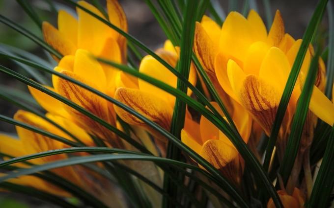 yellow crocus image