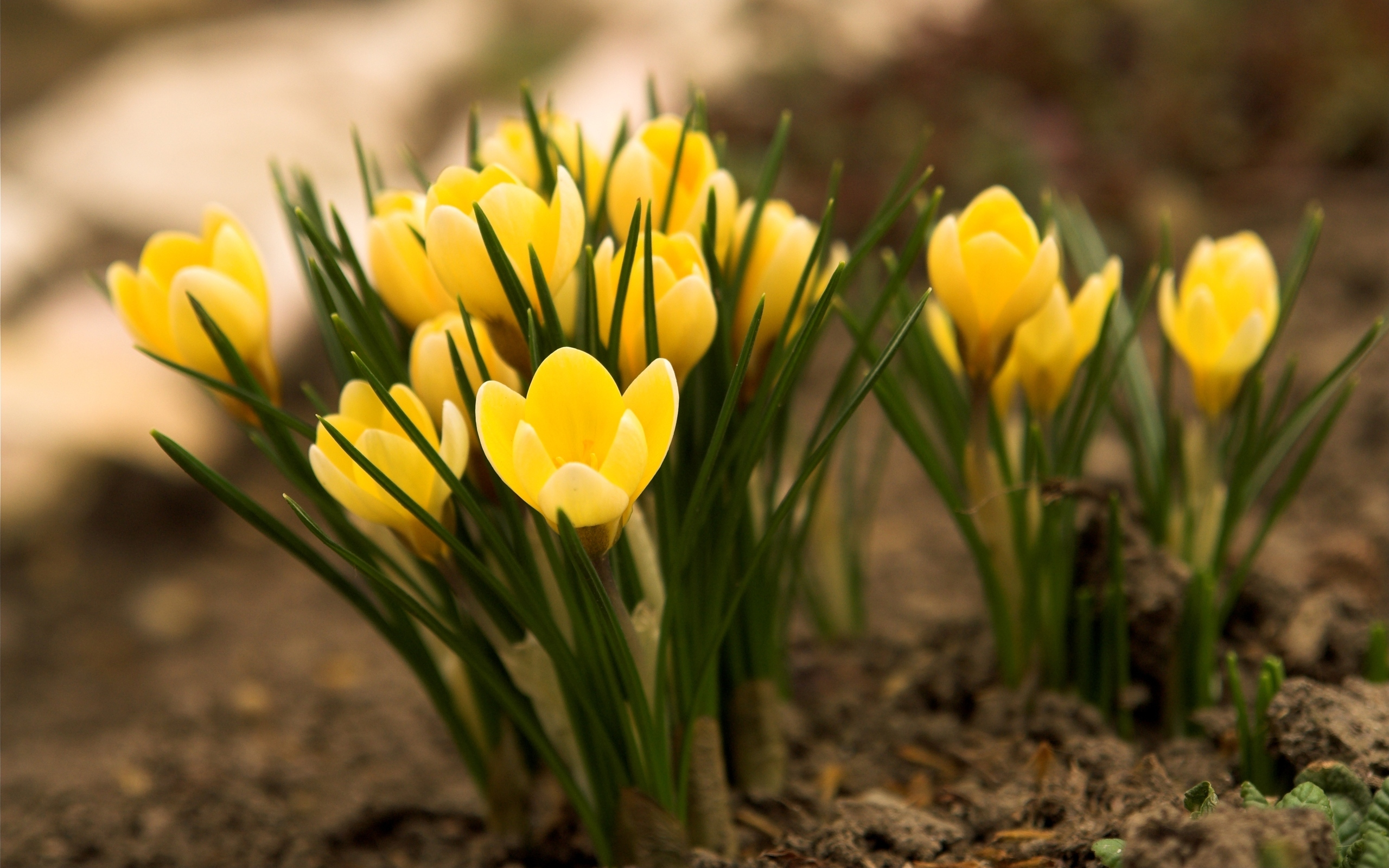 yellow crocuses flower