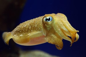 yellow cuttlefish beautiful