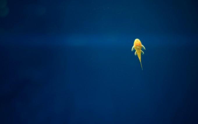 yellow fish beautiful