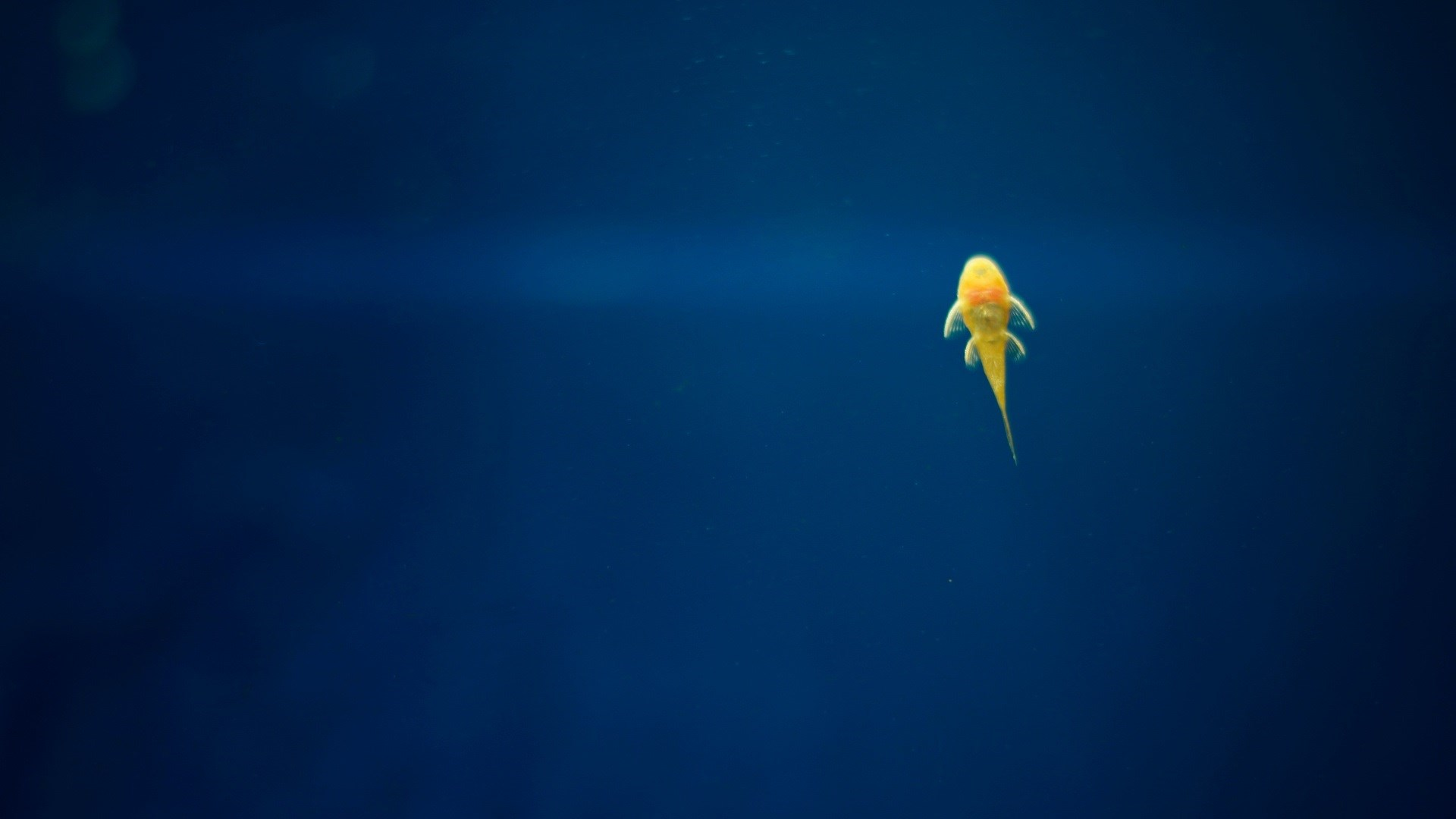 yellow fish beautiful