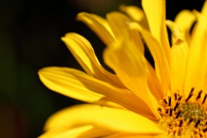 yellow flower petal