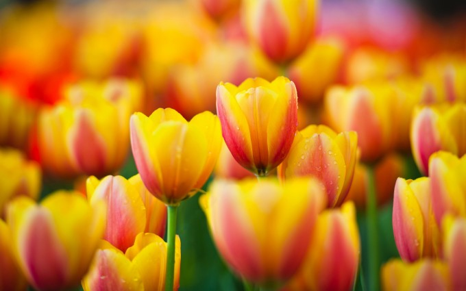 yellow tulip flower pictures
