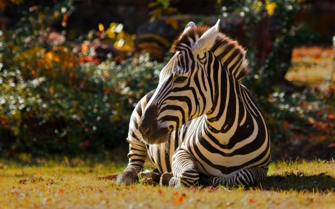 zebra wallpaper africa