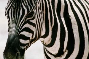 zebra wild animal beautiful