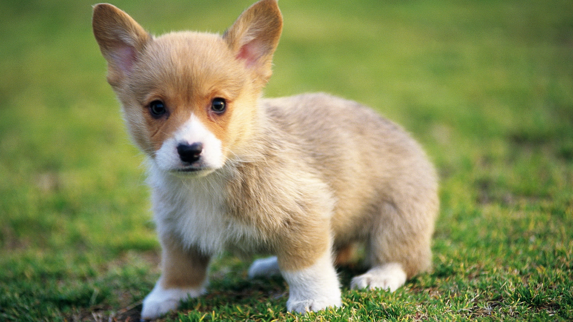 adorable corgi wallpaper