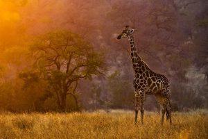 africa safari 1080p