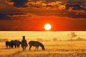 africa wallpaper zebra