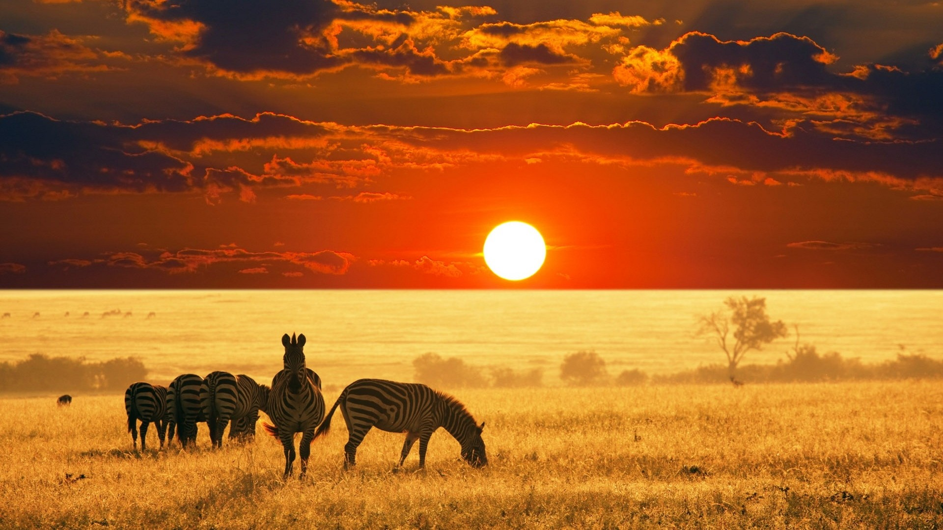 africa wallpaper zebra