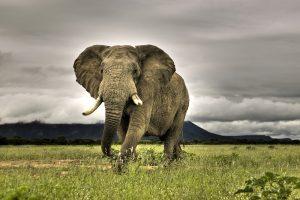 African Elephant Walking on Savanna