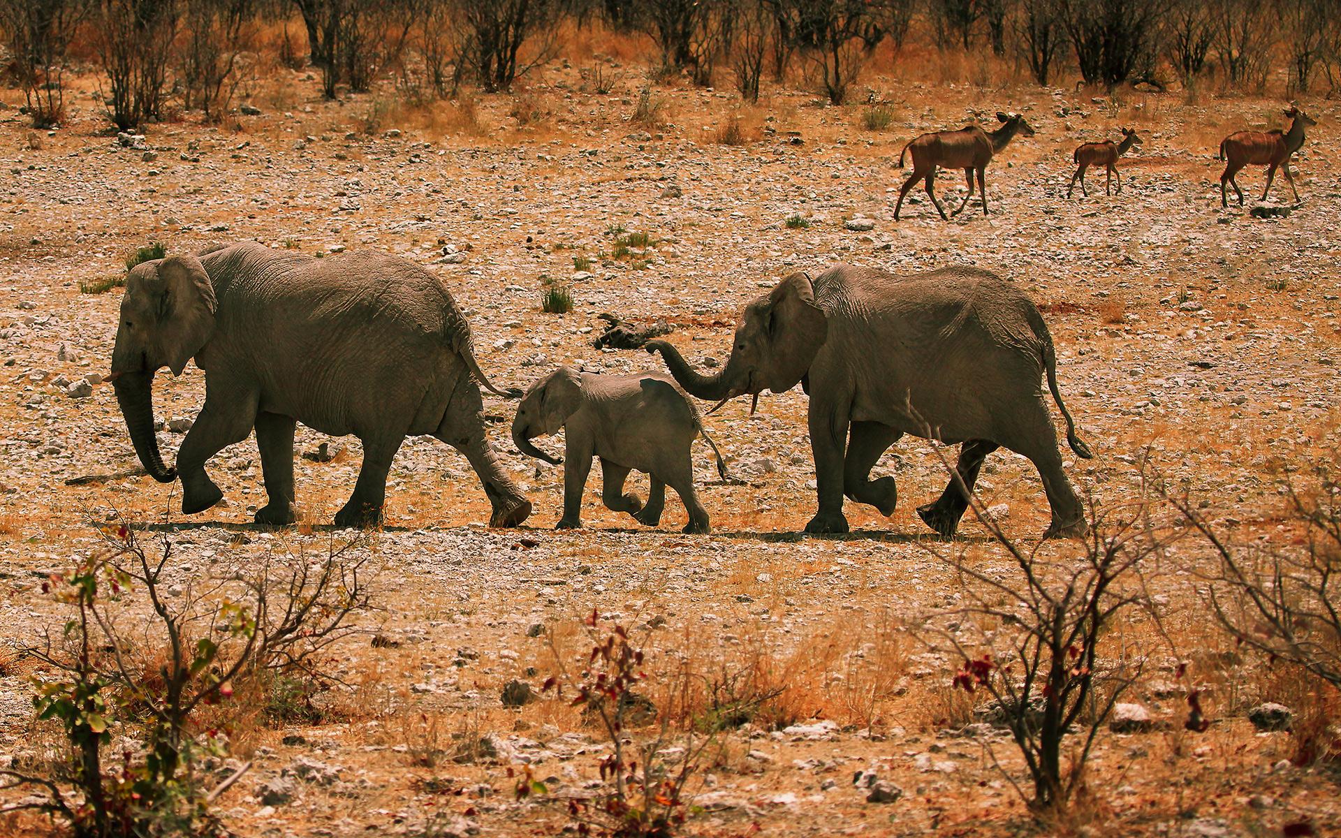 african elephant hd wallpaper