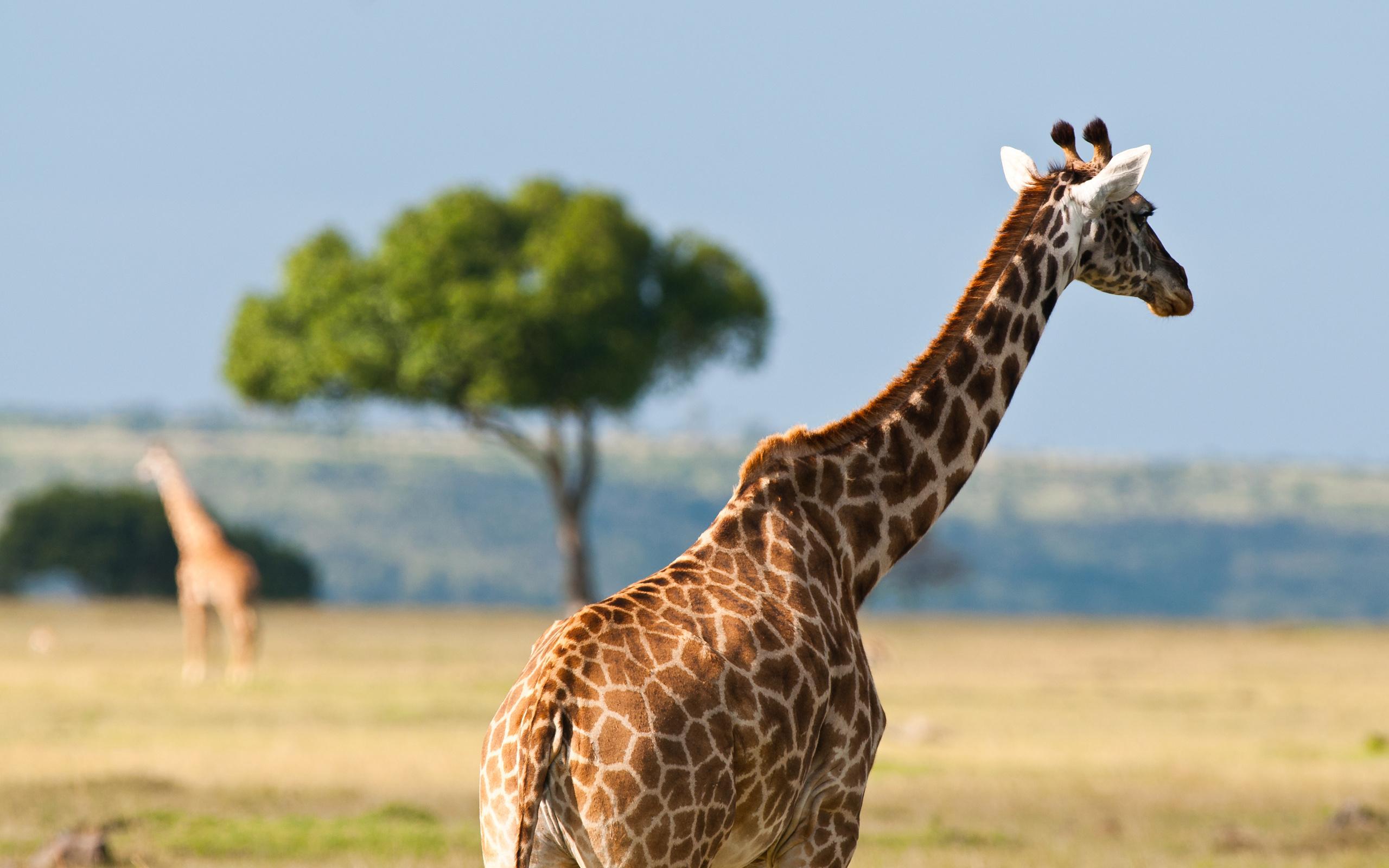 African Safari Giraffe