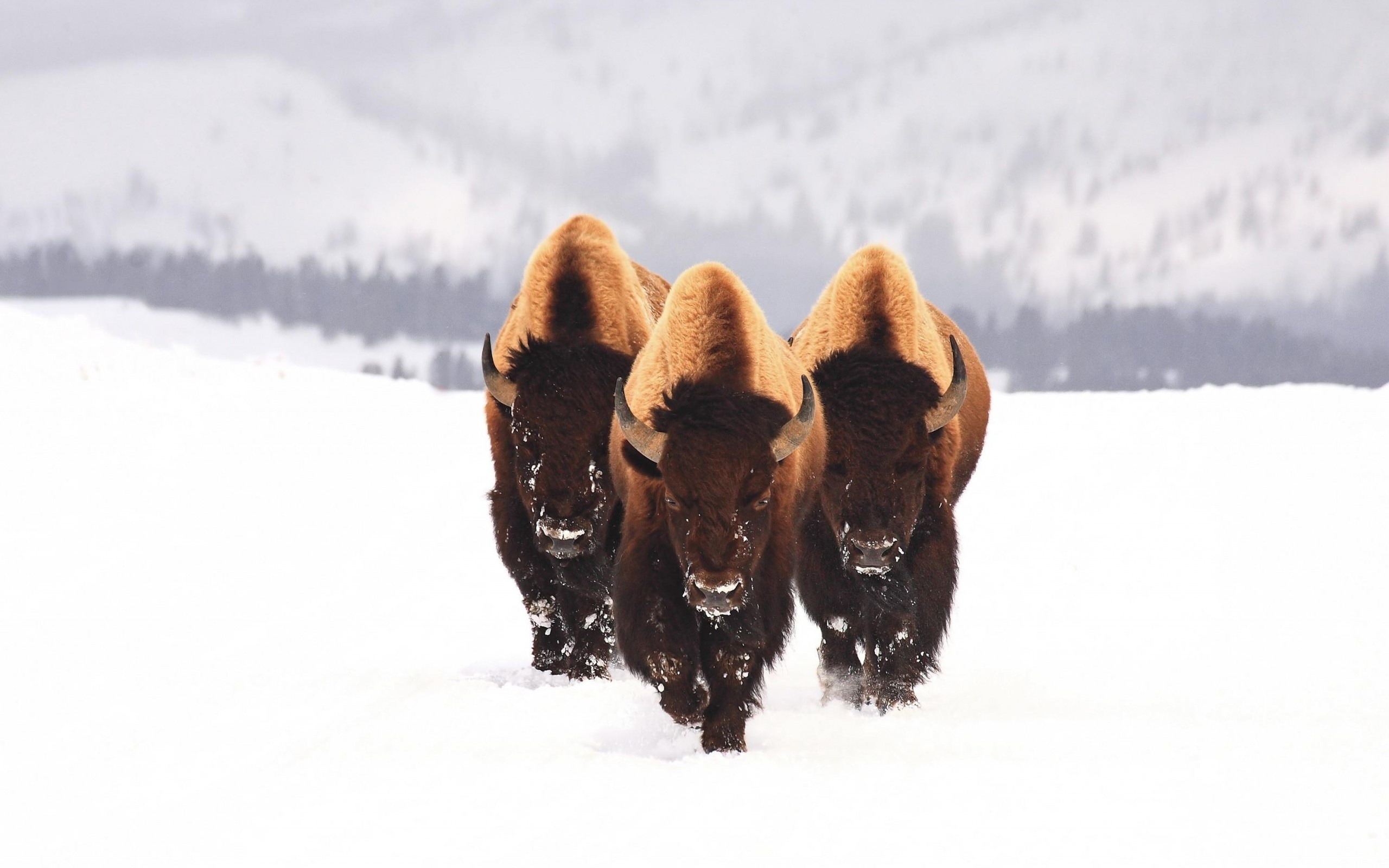 american bison images