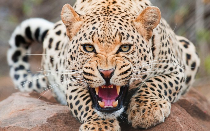 angry leopard cat