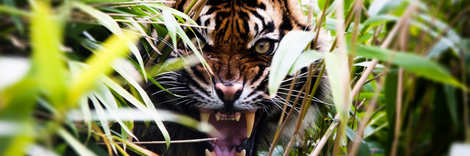 angry tiger wallpapers hd desktop wallpapers 4k hd