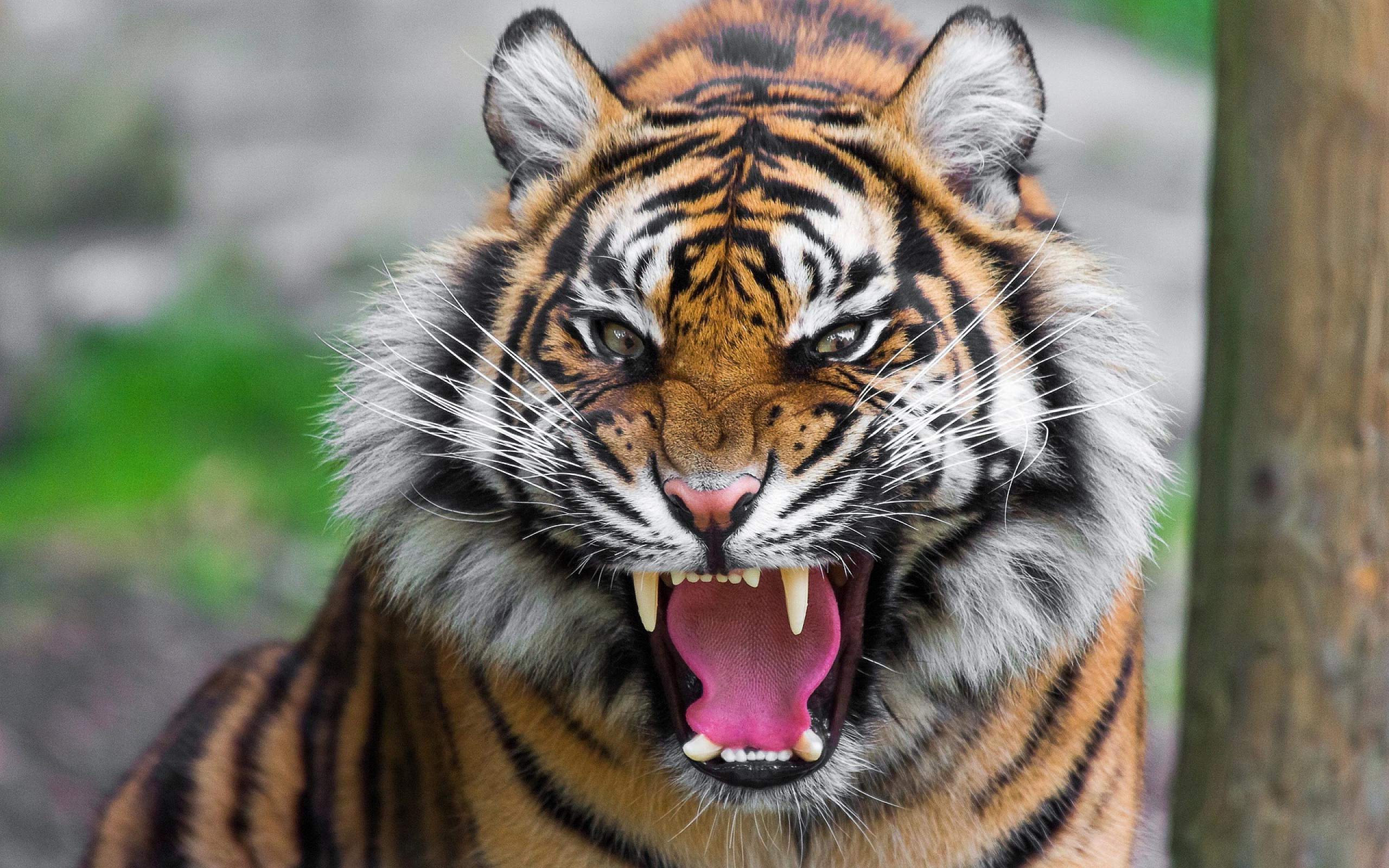 angry tiger wallpapers nature