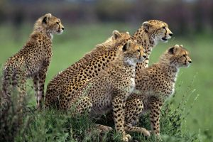animal cheetah pictures