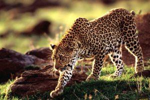 animal wild wallpaper