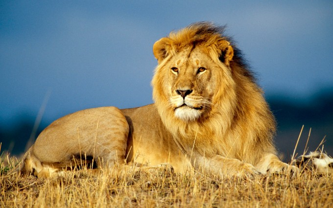 animated lion wallpaper