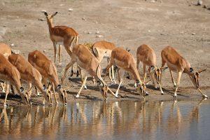 antelope wild