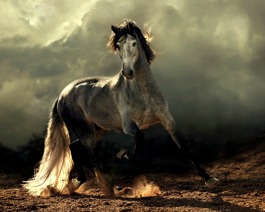 arabian horse beautiful
