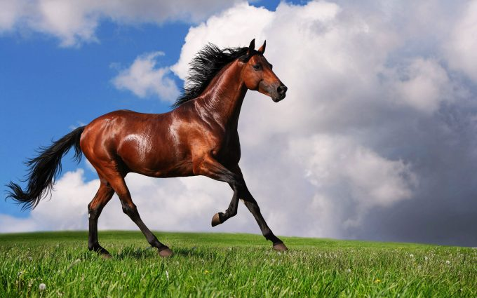arabian horse hd