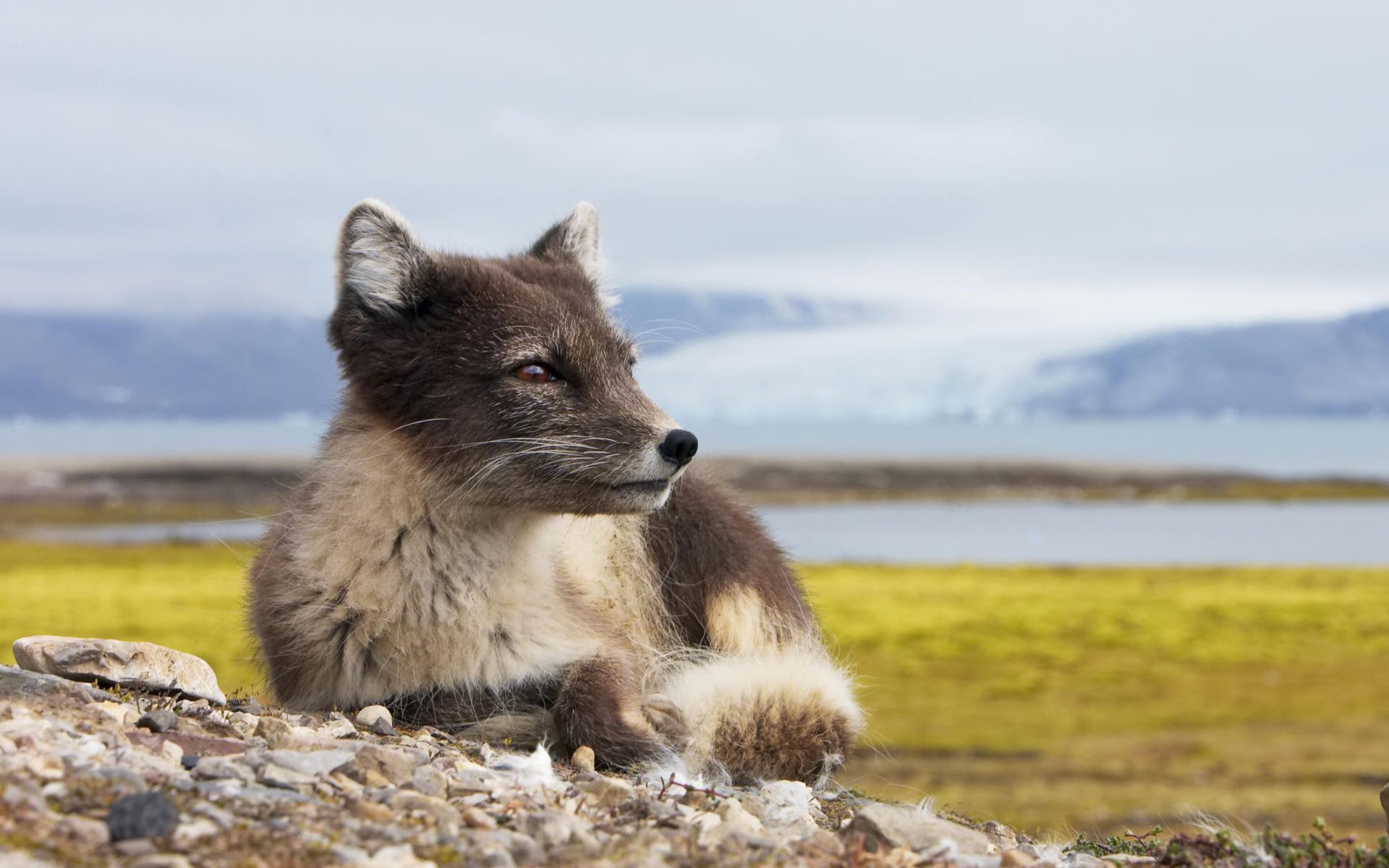 arctic fox nature