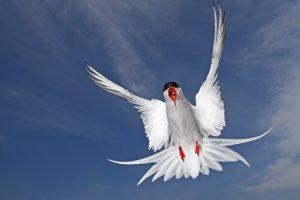arctic tern seabird