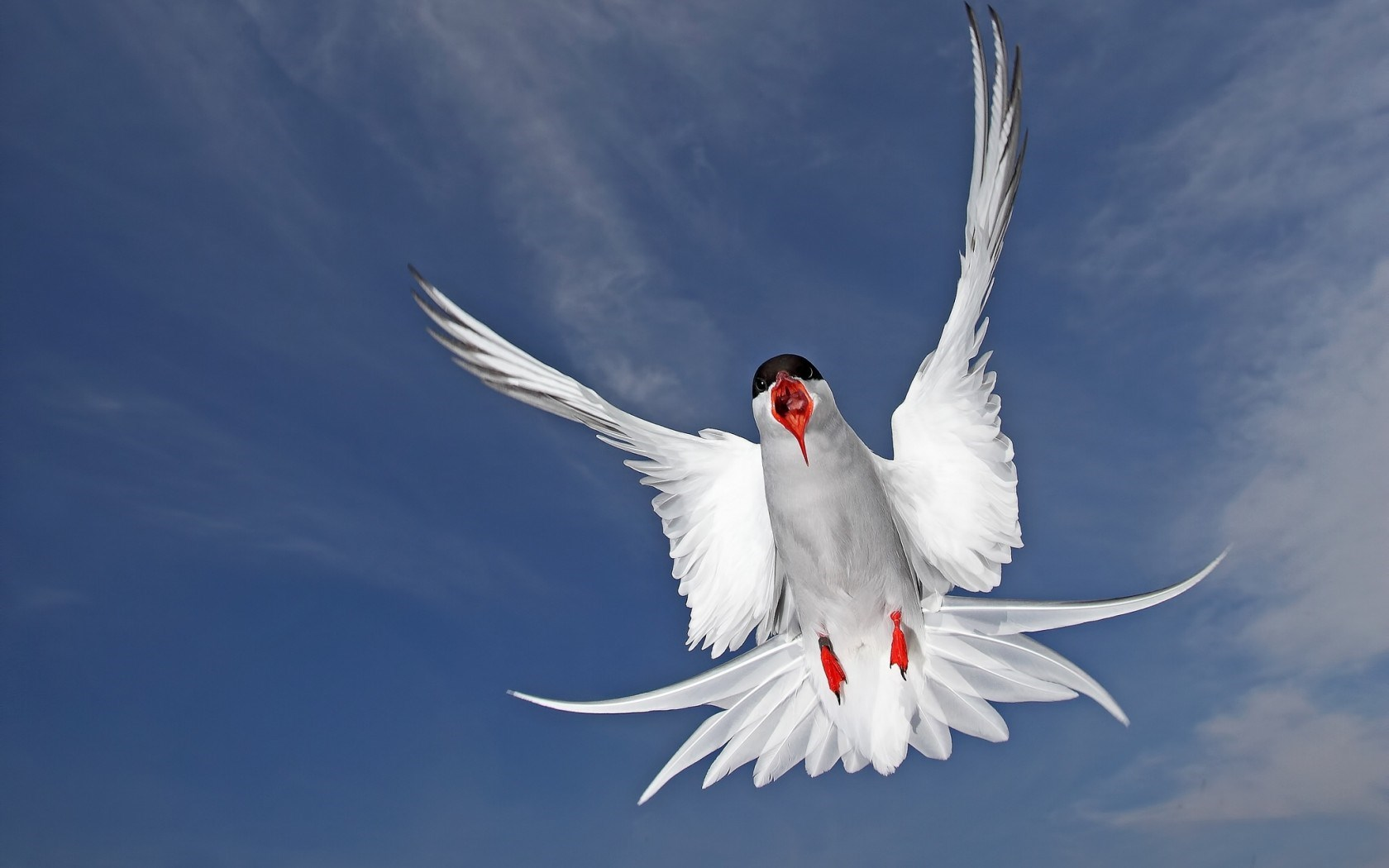 Arctic Tern Seabird - HD Desktop Wallpapers