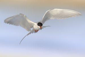 atlantic ocean birds