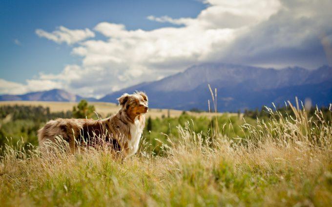australian shepherd beautiful