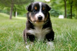 australian shepherd puppy hd