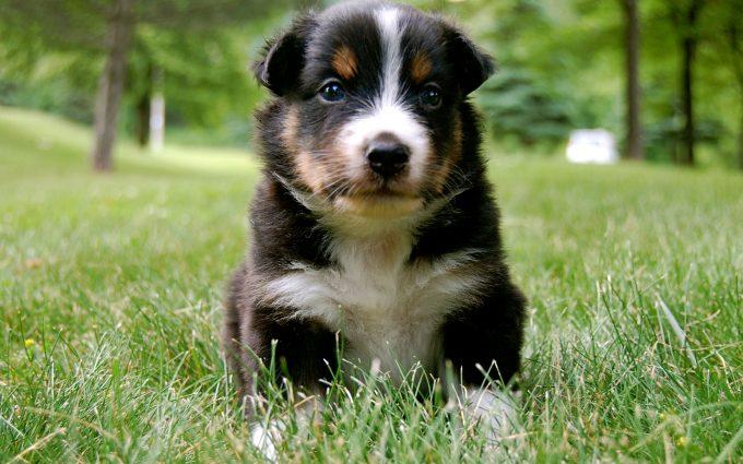 australian shepherd puppy hd