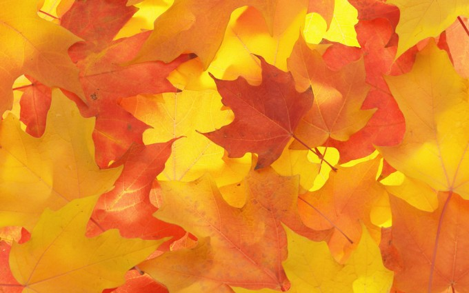 Fall Colored Maple Leaves --- Image by © Royalty-Free/Corbis