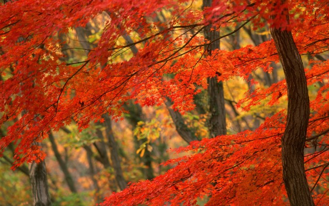 autumn wallpaper red leaves
