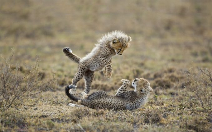baby cheetah wallpaper