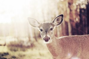baby deer wallpaper