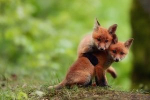 baby fox wallpapers