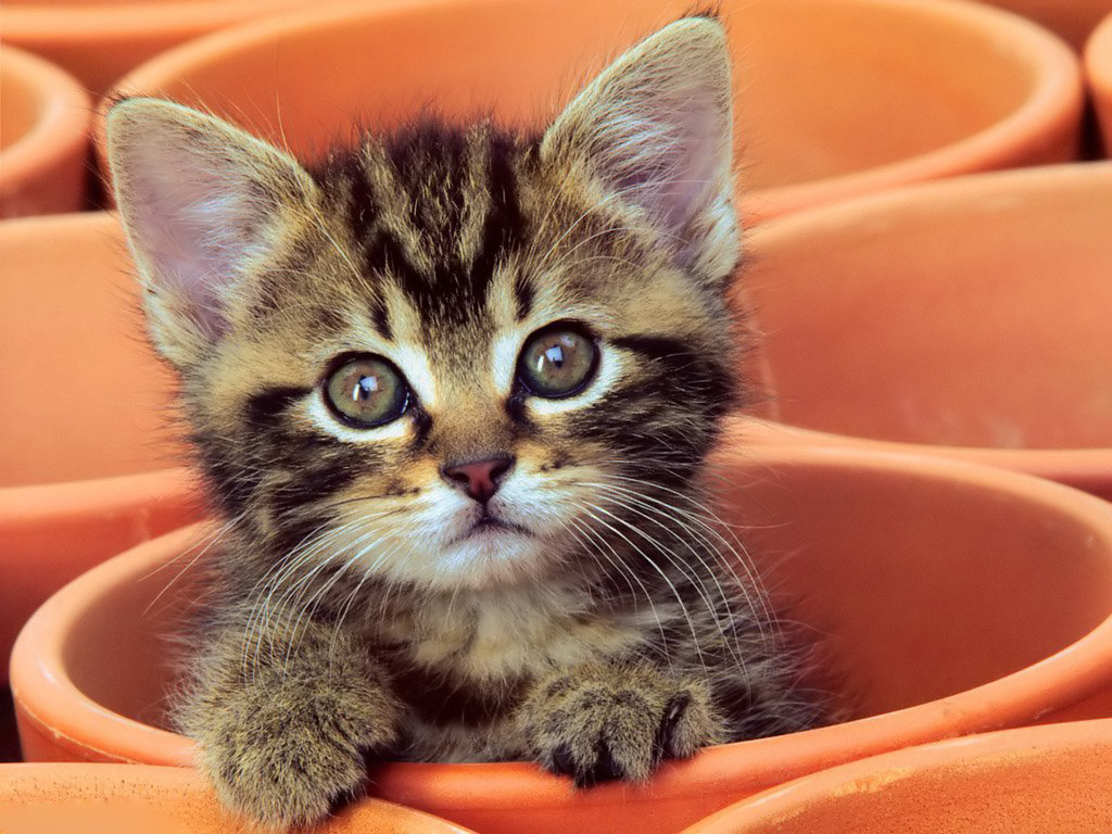 baby kitten wallpaper