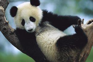 baby panda cute A2
