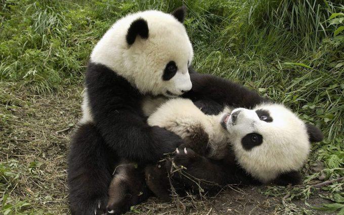 baby panda cute A3