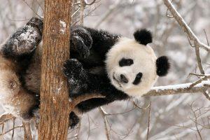 baby panda cute A5