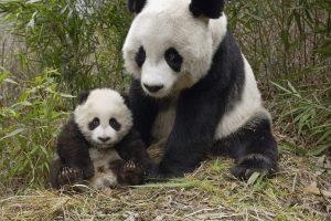 baby panda cute A6