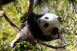 baby panda cute A7
