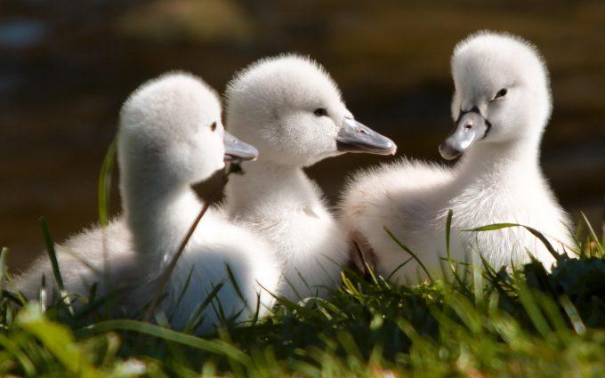 baby swan image